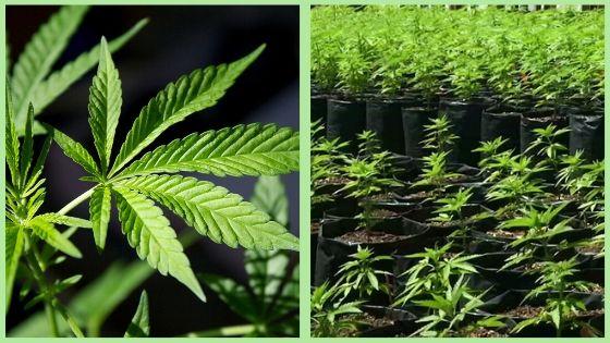 medical marijuana grower license to grow in quarantine