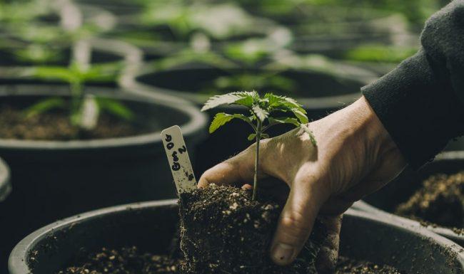 Man Planting Cannabis Plant